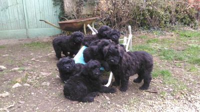 chiots bouviers